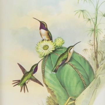 Lámina antigua de cactus con colibrís