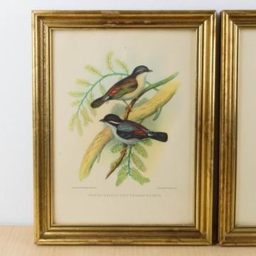 Pareja de láminas antiguas de pájaros