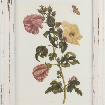 Lámina botánica, hibiscus