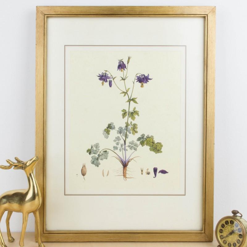 Lámina botánica antigua, género Aquilegia | Flora y fauna | Láminas ...