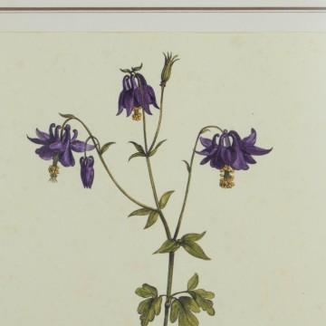 Lámina botánica antigua, género Aquilegia