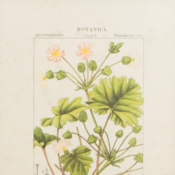 Pareja de láminas botánicas antiguas