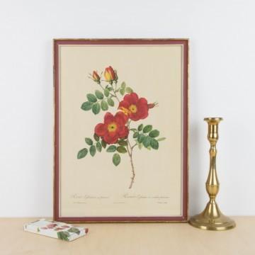 Lámina botánica antigua, Rosa eglanteria