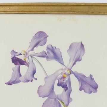 Lámina botánica antigua, género Iris