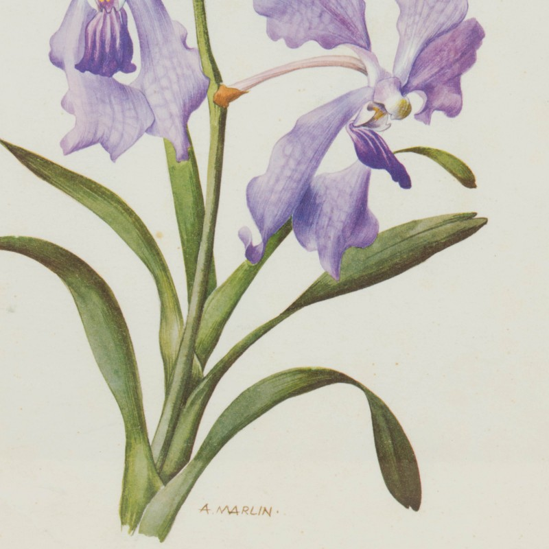 Lámina botánica antigua, género Iris | Flora y fauna | Láminas y ...